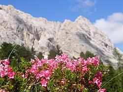 Rododendri in Val Duron