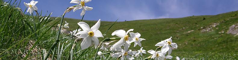 I narcisi sul monte Golica